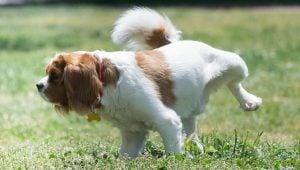 How do you avoid dog urine burn