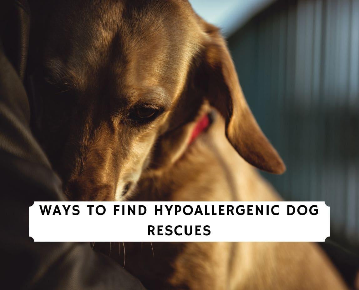 Hypoallergenic Dog Rescues