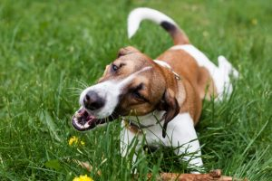 Is Eating Grass Dangerous For Dogs