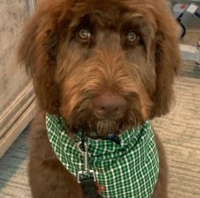 Is The Chocolate Labradoodle a Different Type of Dog Breed