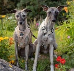 Italian Greyhound Small Hypoallergenic Dogs