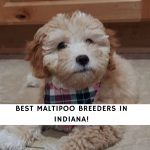 Maltipoo Breeders in Indiana