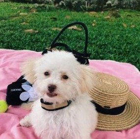 Maltipoo Breeders in Tennessee