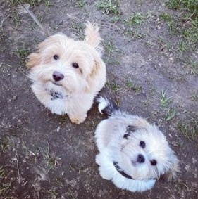 Maltipoo Puppies For Sale Tennessee