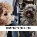 Maltipoo vs Yorkiepoo