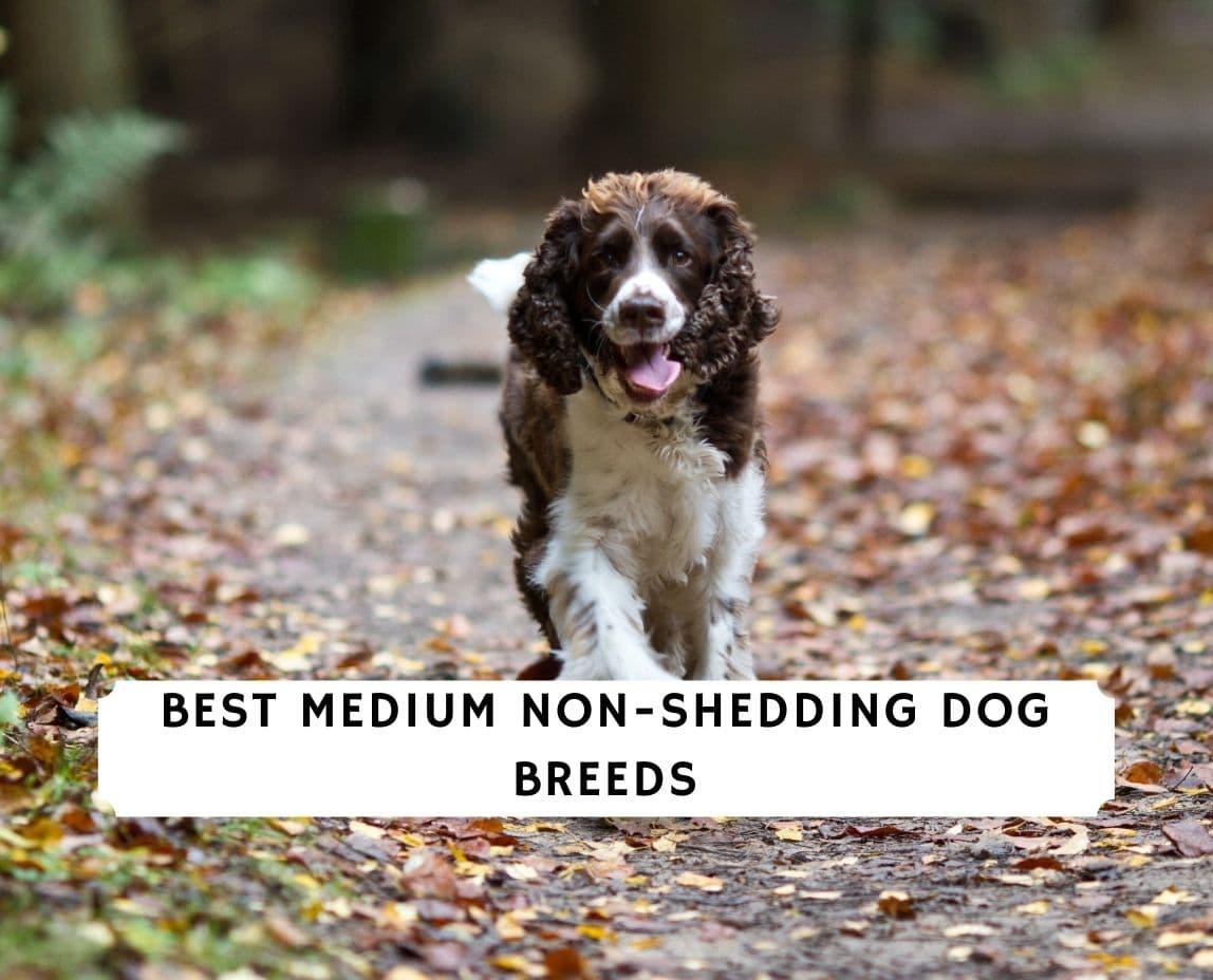 Medium Non Shedding Dog Breeds