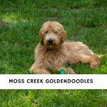 Moss Creek Goldendoodles