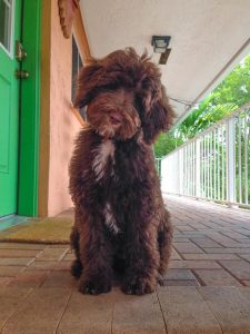 Price of a Chocolate Goldendoodle
