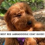 Red Labradoodle Coat Guide