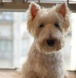 Scottish Terrier Small Hypoallergenic Breeds