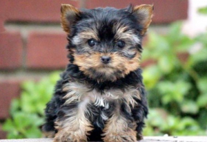 Are Yorkie Poos Hypoallergenic?