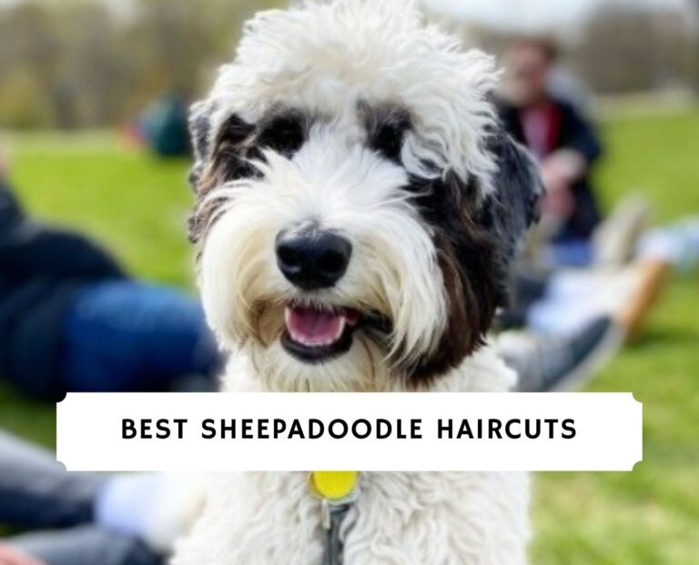Sheepadoodle Haircuts