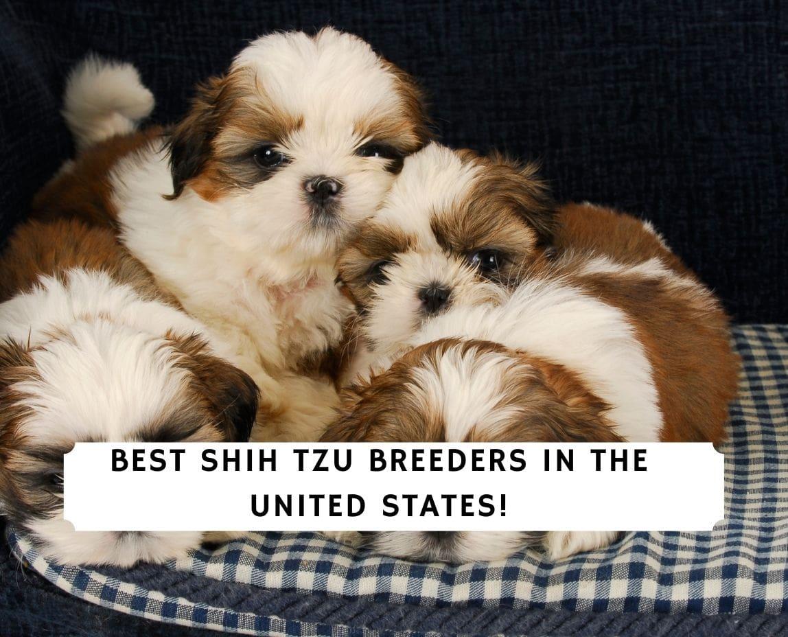 Shih Tzu Breeders in the US