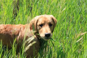 Should you be worried when your dog eats grass