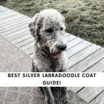 Silver Labradoodle Coat Guide