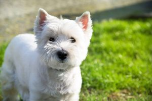 Conclusions for Small Non-Shedding Dog Breeds