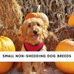 Small Non Shedding Dog Breeds