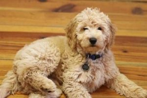 Teddy Bear Goldendoodle
