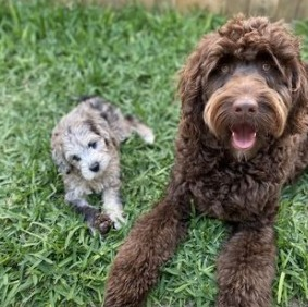 Temperament and Personality Chocolate Goldendoodle