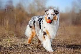 The Australian Shepherd Dog