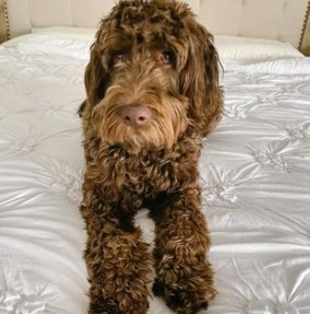 Training a Chocolate Labradoodle