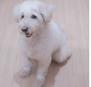 Training a White Labradoodle