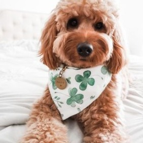 Types of Goldendoodle Coats