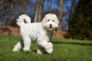 WHAT DOES A FULLY GROWN LABRADOODLE LOOK LIKE