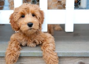 WHEN will my LABRADOODLE STOP GROWING