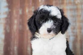 Conclusion For The Best Sheepadoodle Haircuts