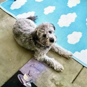 What Are The Different Silver Labradoodle Coat Type