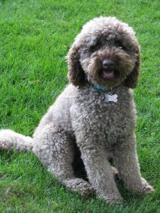 What Do Silver Labradoodle Coat puppies look like