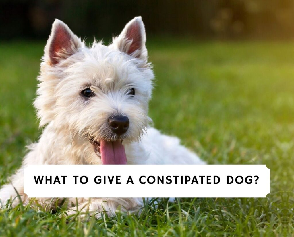 What To Give a Constipated Dog