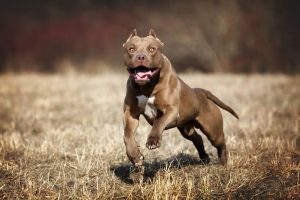 When are Pitbulls Fully Grown?
