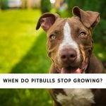 When Do Pitbulls Stop Growing
