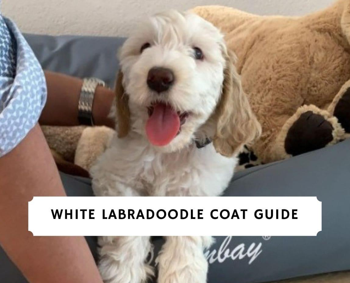 White Labradoodle
