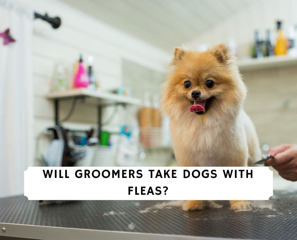 Will Groomers Take Dogs With Fleas