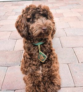 Will a Labradoodle's Chocolate Color Fade