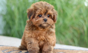 How to Know If a Yorkie Poo is Hypoallergenic?