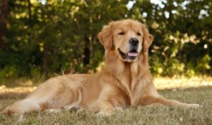 Conclusion For The Best Golden Retriever Breeders in New Jersey
