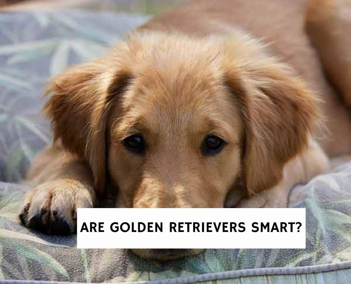 Are Golden Retrievers smart?