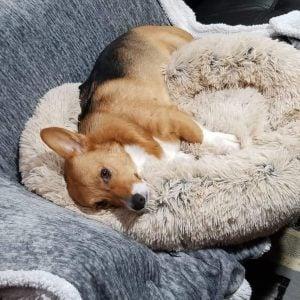 beds for corgis