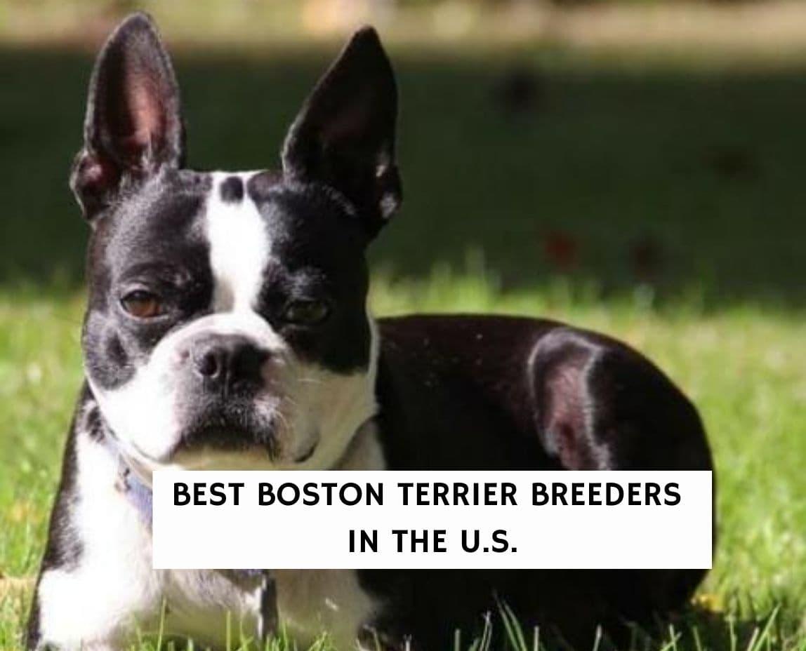Boston Terrier Breeders
