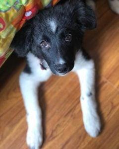 best brush for border collie puppy