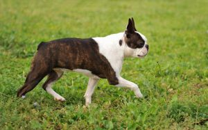 Caring for Dogs With Short or No Tails