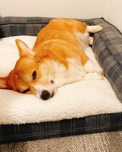 corgi dog bed