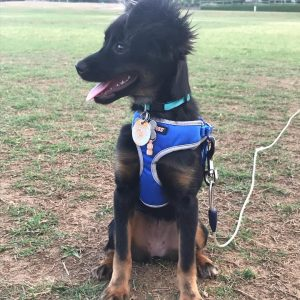 escape proof dog harness for tie out