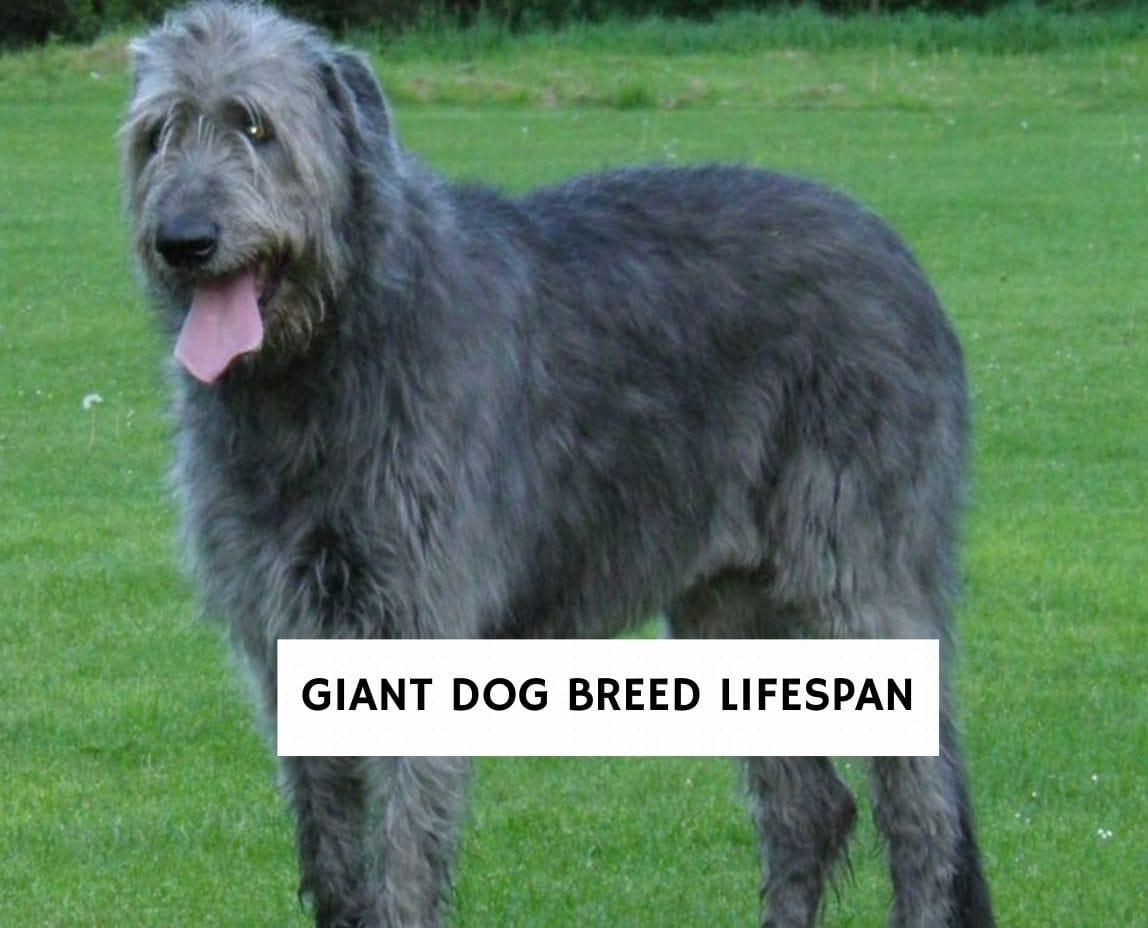 Giant Dog Breed Lifespan