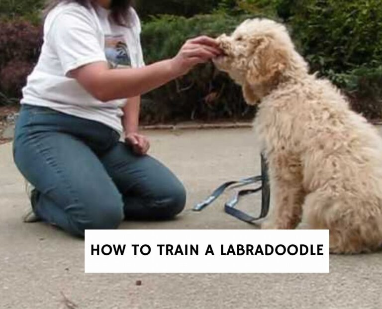 How to Train a Labradoodle