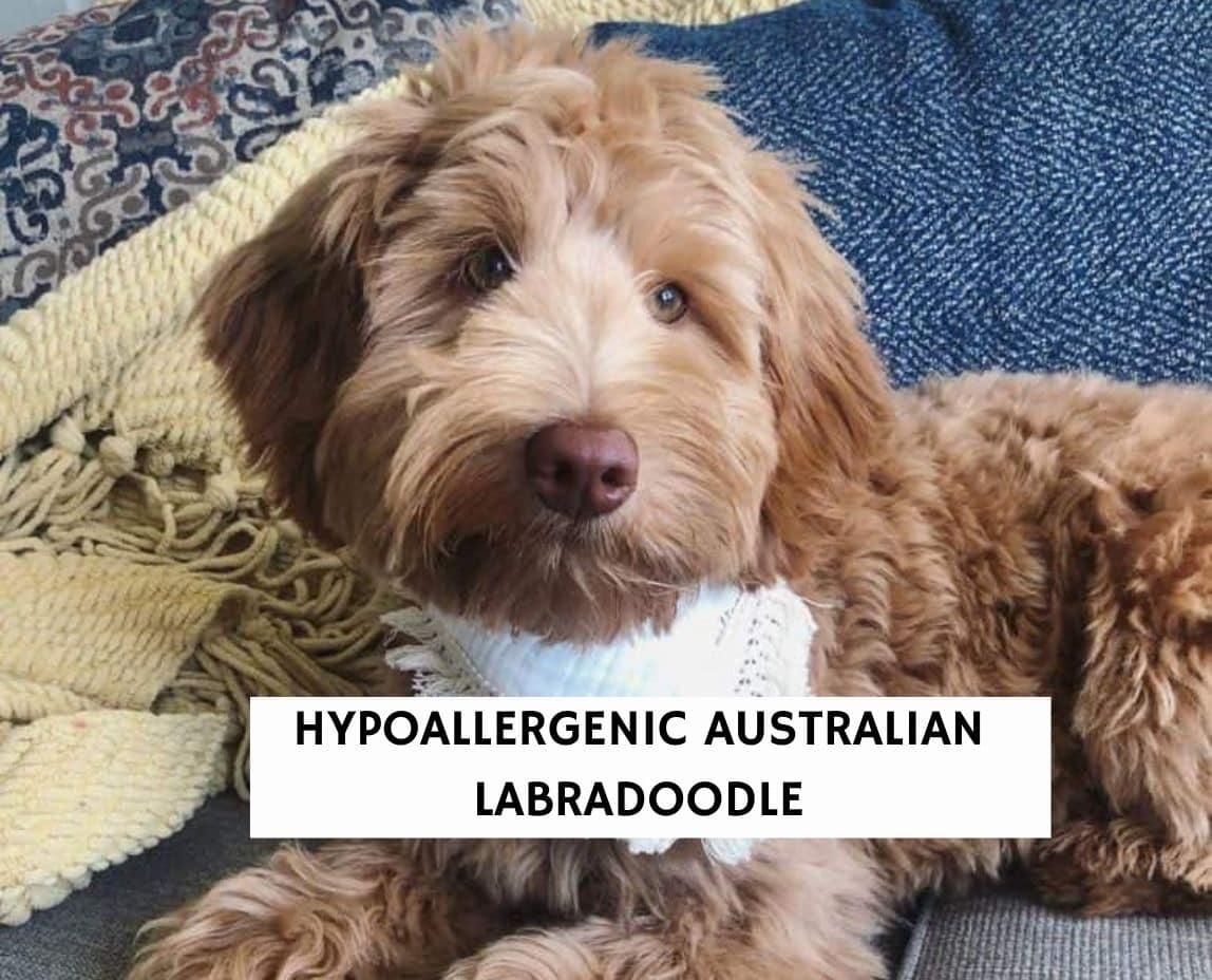 Hypoallergenic Australian Labradoodle